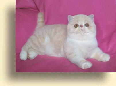 C MATRIX Sir James Bond title 1a exotic persian past kittens