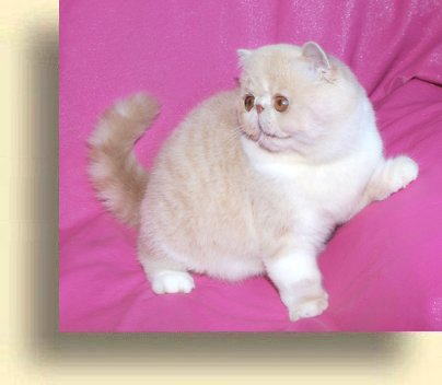 C MATRIX Sir James Bond title 1b exotic persian past kittens