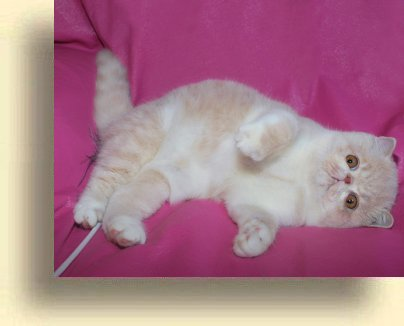 C MATRIX Sir James Bond title 1c exotic persian past kittens