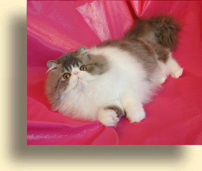 C MATRIX Big Vudi title exotic persian past kittens