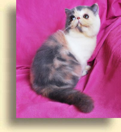 ... title 1d exotic persian past kittens