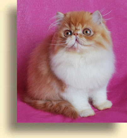 ... title 1b exotic persian past kittens