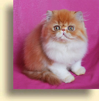 ... title 1c exotic persian past kittens