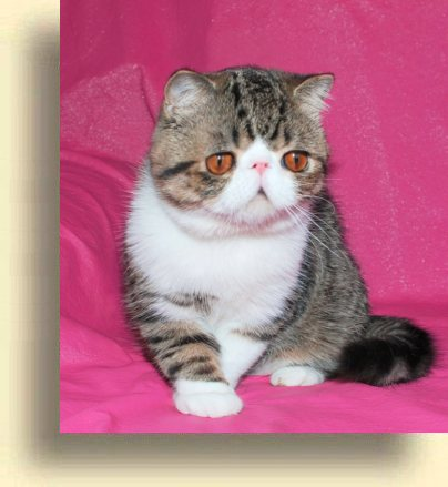 ... title 1f exotic persian past kittens