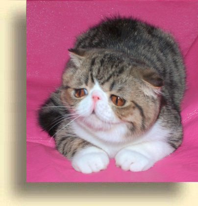 ... title 1g exotic persian past kittens