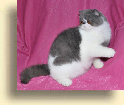 C MATRIX Boomer title 1b exotic persian past kittens