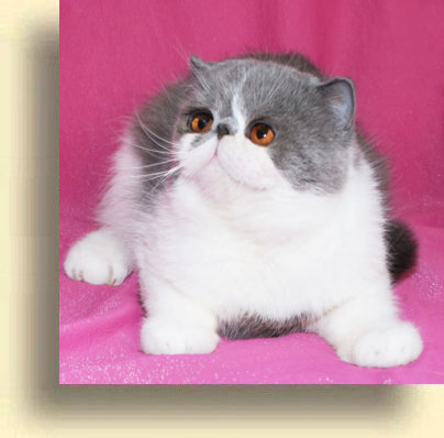 C MATRIX Boomer title 1c exotic persian past kittens