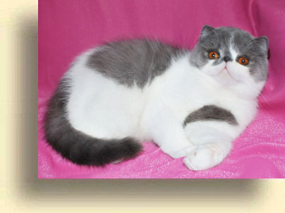 C MATRIX Boomer title 1d exotic persian past kittens