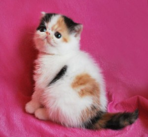 ... 1 300x277 exotic persian past kittens