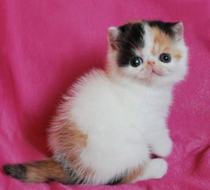 ... 2 300x272 exotic persian past kittens