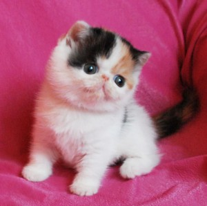 ... 5 300x298 exotic persian past kittens
