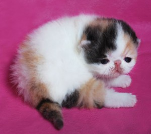... 8 300x266 exotic persian past kittens