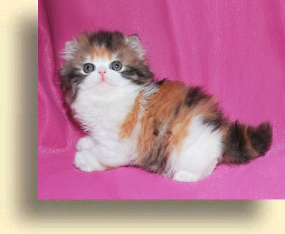 ... title 1a exotic persian past kittens