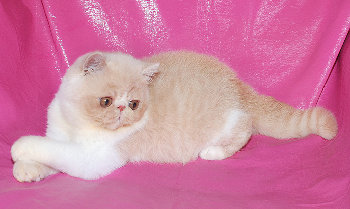 ... title 1e exotic persian past kittens