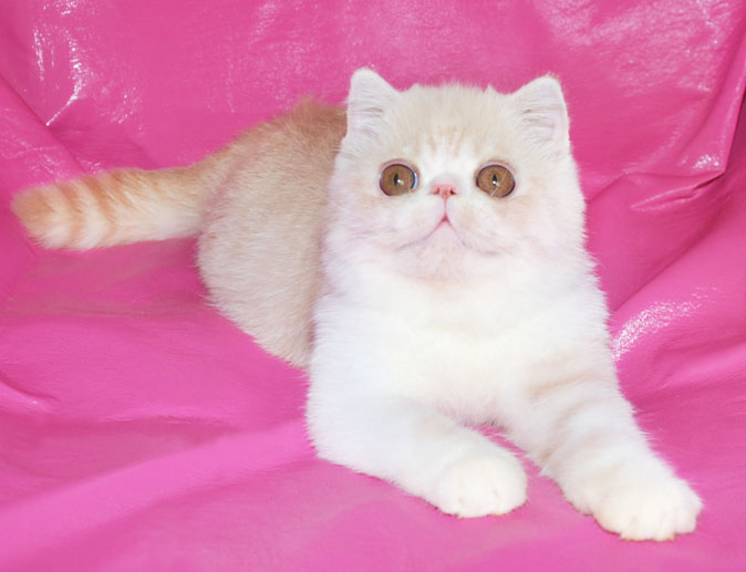 ... 1 exotic persian past kittens