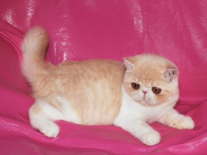 ... 4 300x225 exotic persian past kittens
