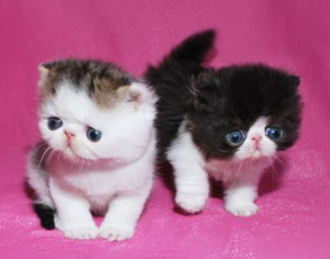 ... 2 300x236 exotic persian past kittens