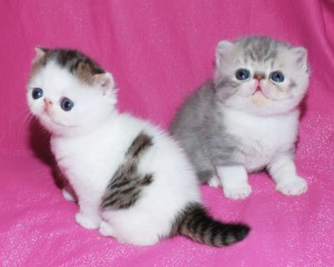 ... 3 300x240 exotic persian past kittens