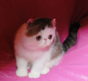 ... 6 300x276 exotic persian past kittens