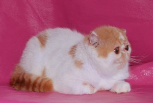 ... 11 300x203 exotic persian past kittens