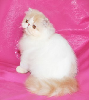 ... 1 300x337 exotic persian past kittens