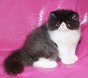 ... 1 300x266 exotic persian past kittens