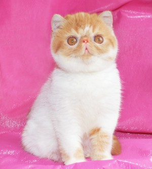 ... 1 300x334 exotic persian past kittens
