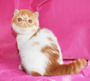 ... 2 300x270 exotic persian past kittens
