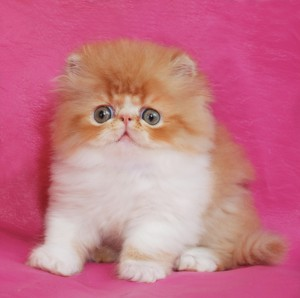 ... 1 300x298 exotic persian past kittens