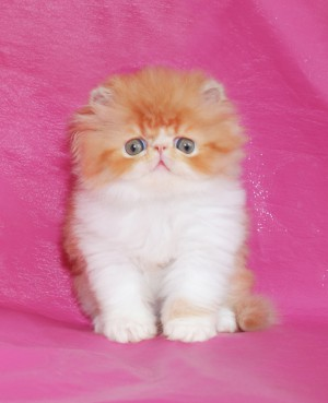 ... 2 300x369 exotic persian past kittens