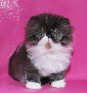... 1 300x319 exotic persian past kittens