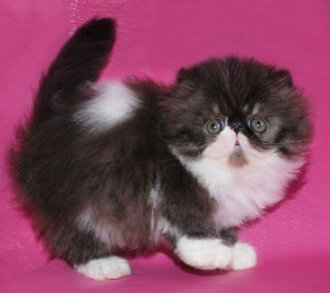 ... 2 300x266 exotic persian past kittens