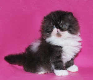 ... 3 300x261 exotic persian past kittens