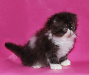 ... 4 300x255 exotic persian past kittens