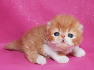 ... 1 300x224 exotic persian past kittens
