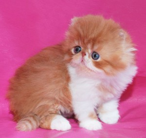... 5 300x283 exotic persian past kittens
