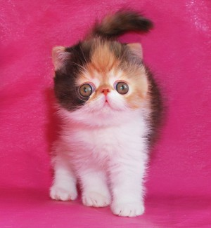 ... 2 300x325 exotic persian past kittens