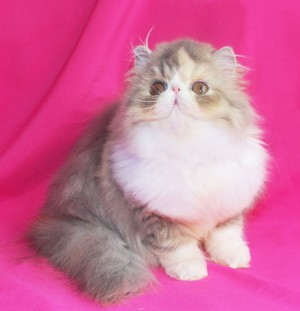 ... 1 300x311 exotic persian past kittens