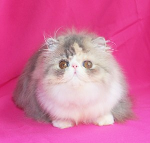 ... 3 300x285 exotic persian past kittens