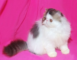 ... 2 300x234 exotic persian past kittens