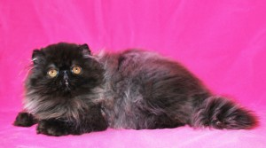1 300x167 exotic persian past kittens