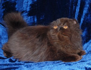 3 300x233 exotic persian past kittens