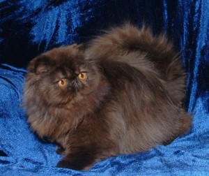 4 300x252 exotic persian past kittens