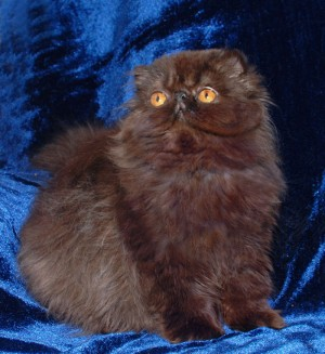 5 300x327 exotic persian past kittens