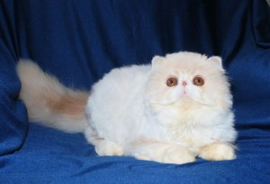 2 300x205 exotic persian past kittens