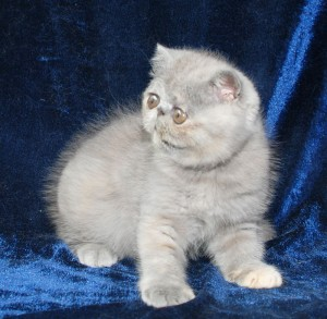 1 300x293 exotic persian past kittens