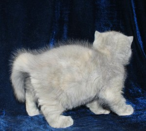 4 300x270 exotic persian past kittens