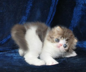 1 300x253 exotic persian past kittens