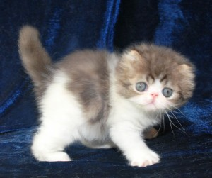 2 300x251 exotic persian past kittens