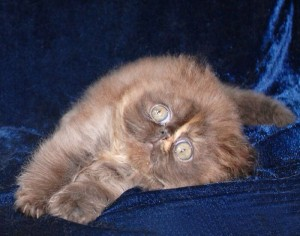 1 300x236 exotic persian past kittens